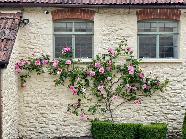 Climbing Rose on stable block wall